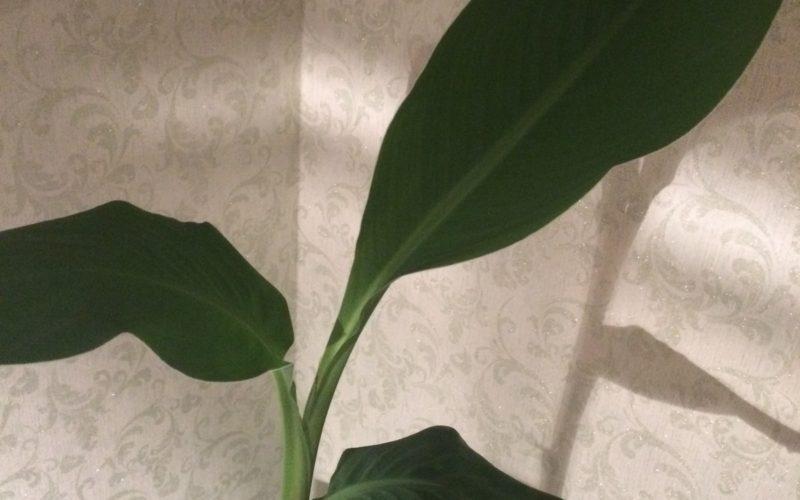 растение с мягкими большими листьями
