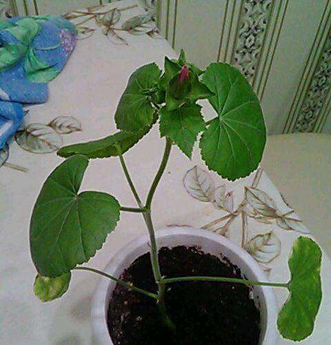 Зелёное растение с розовым цветом