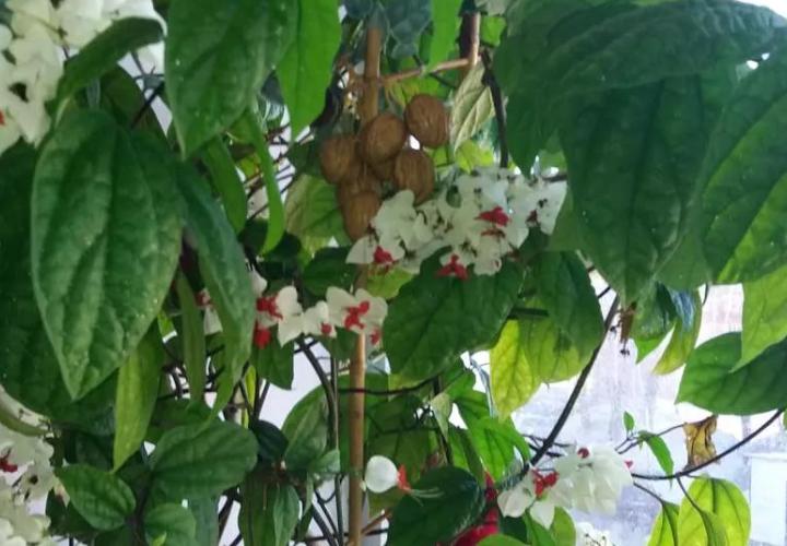 Зеленое растение с белыми и в серединке красными цветами