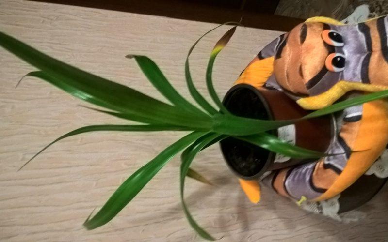 узкие листья, растут в виде пальмы