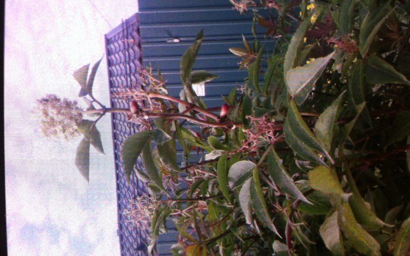 Красные стебли белые маленькие цветочки сверху
