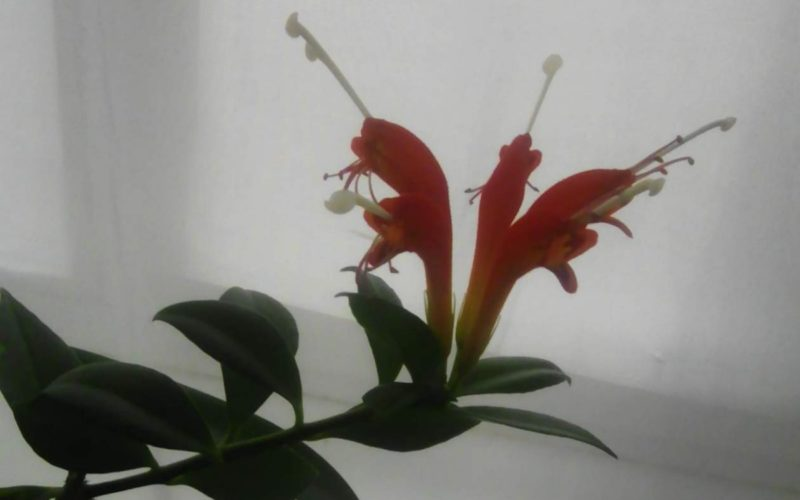 зелёное растение с красно-оранжевыми цветами(комнатное)