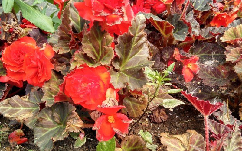 Красные цветы, бордовые листья