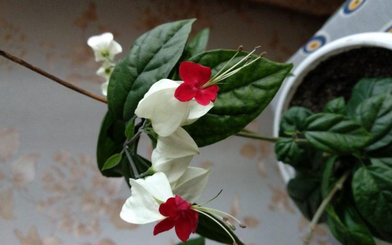 Зелёное растение с бело-красными цветами