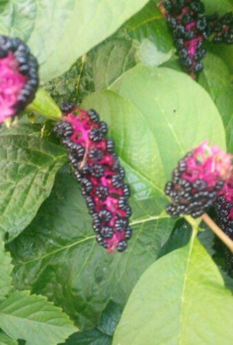 растение с красными ягодами