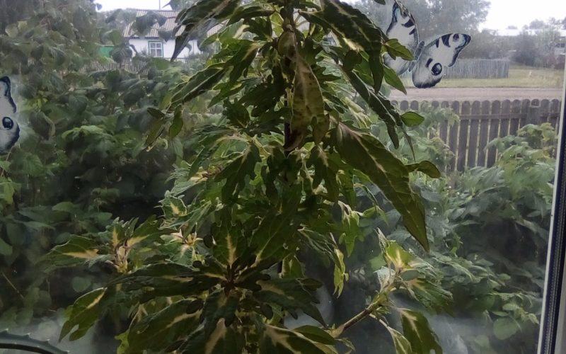 Светлозеленые листья с белыми полосками