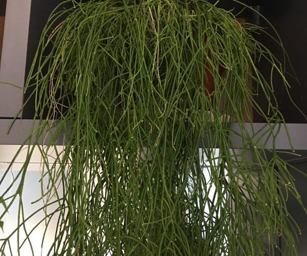 как называется горшечное ампельное растение из зеленых палочек?