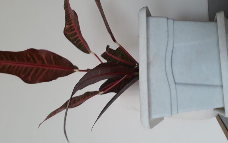 красно-зеленые листья, ствол как у дерева