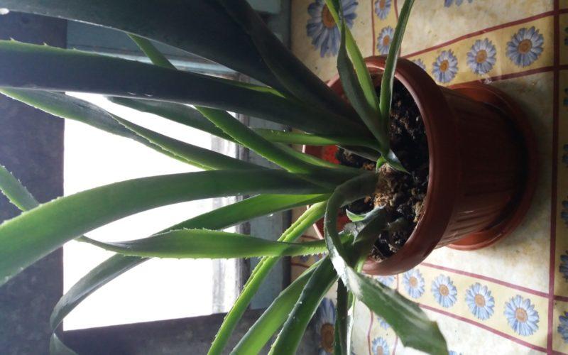 Зелёные растение с красными колосками