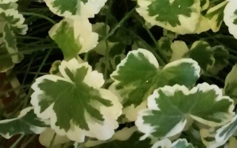 Зелёное растение, листочки с белой окантовкой
