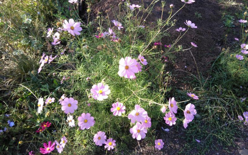 высокие разноцветные садовые цветы