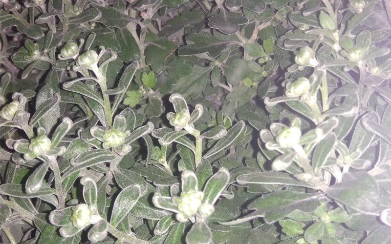 Зеленое растение с мелкими цветочками