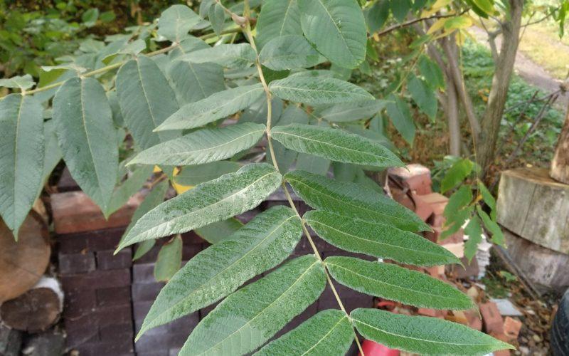 Зелёные листья симметрично расположенные на черешке.