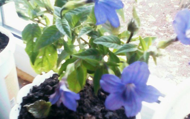 зеленое растение с сереневыми цветами