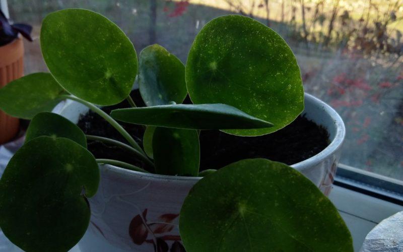 Растение комнатное с круглыми листочками