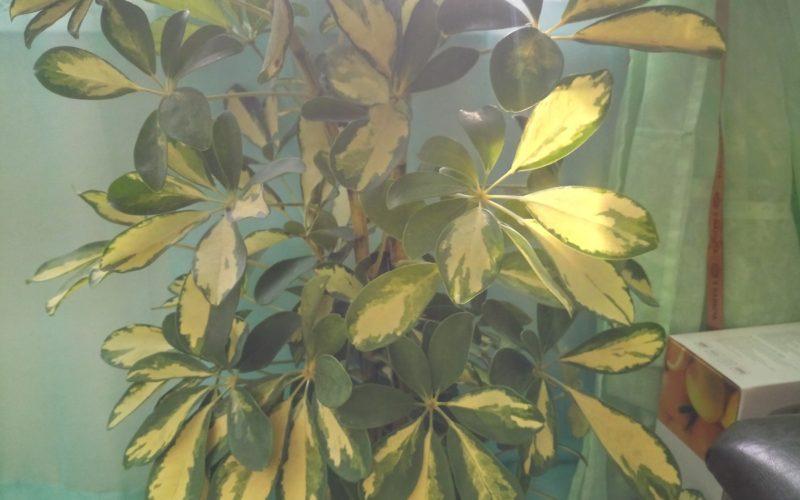 Дерево с желто-зелеными листьями как цветочки