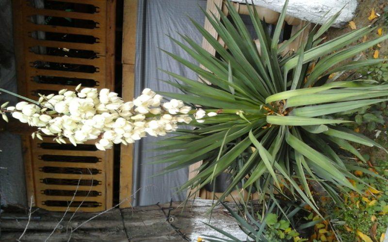 зеленое уличное растение с белыми цветами