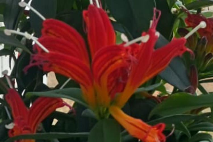 Цветок с краснооранжевыми цветками