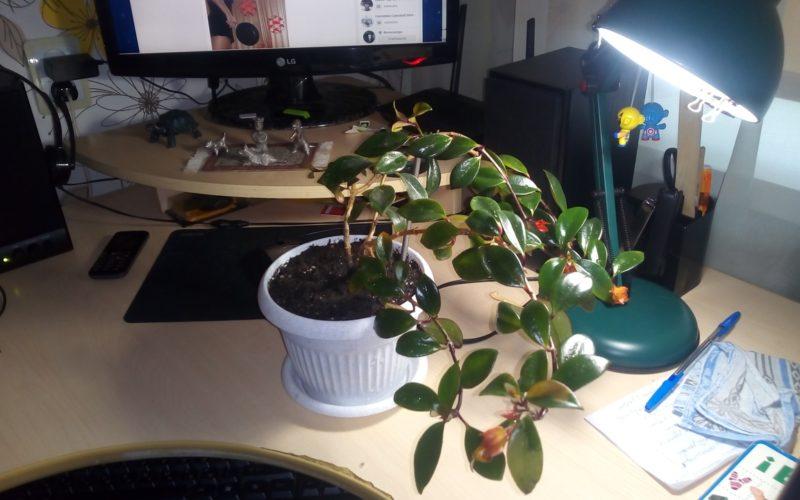 растение с оранжевыми цветами