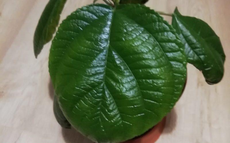Зелёное растение с круглыми листьями