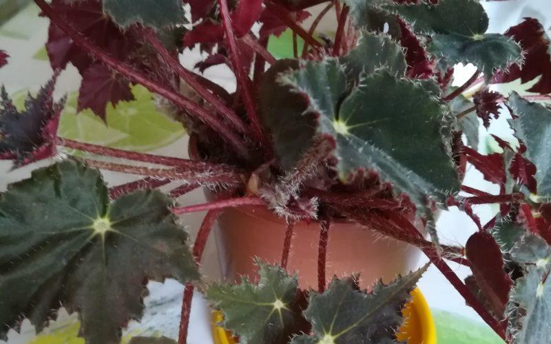 Растение с зелено-бордовыми листьями