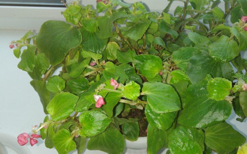 Зелёное растение с красными цветками