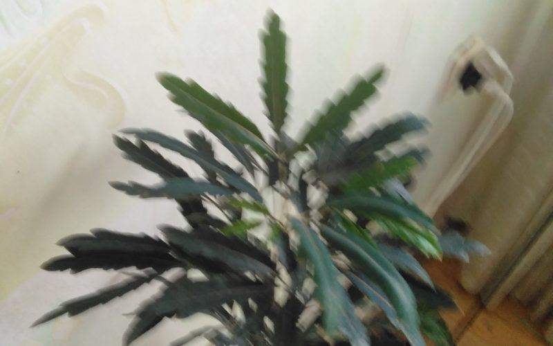 Растение зеленое с древестным стеблем