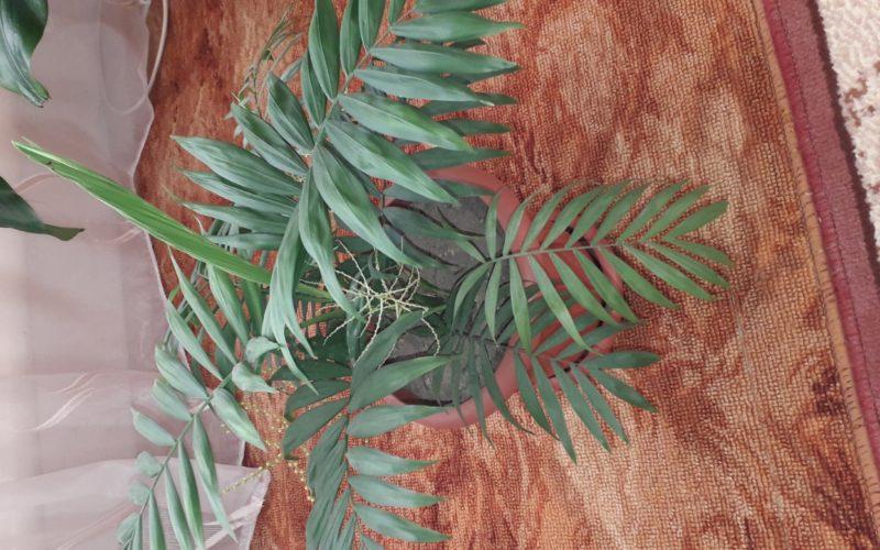 Растение с желтыми цветами как у мимозы