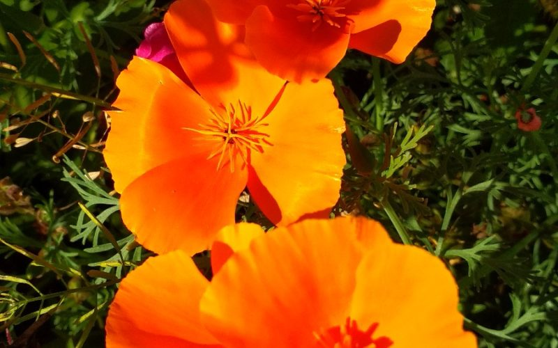 зелёное растение с оранжевыми цветками
