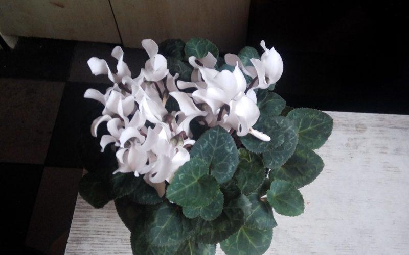 Зелёное растение с белыми вытянутыми цветками