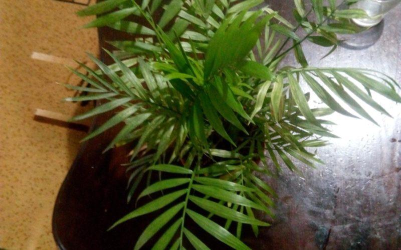 Зеленое растение с тонкими ,длинными листьями