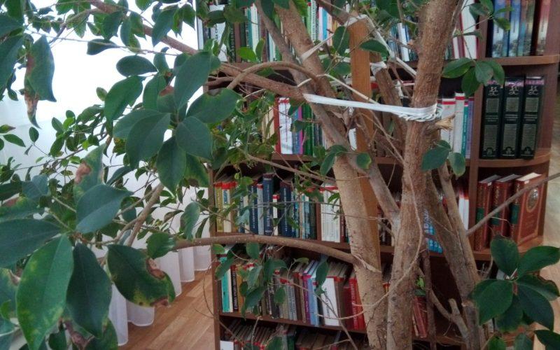 комнатное дерево зеленое