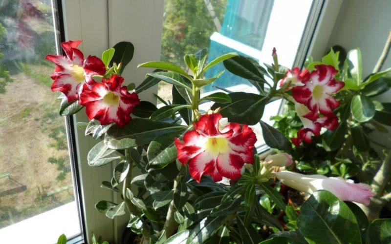 Декоративное комнатное растение с цветками, похожими на лилии