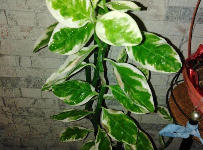 Зелёное растение, слистьямис белыми мазками