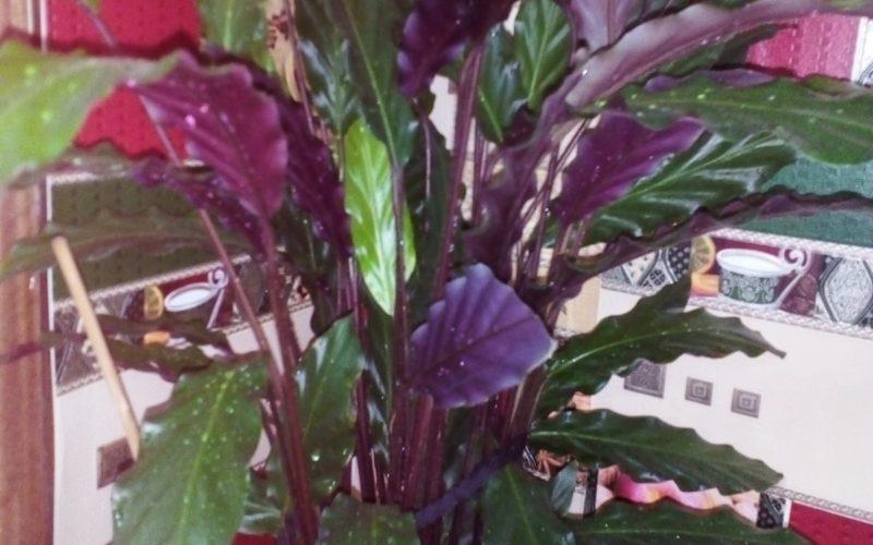 Растение с длинными листами ,фиолетовые на обратной стороне