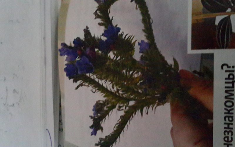 растение с синими цветами колючее