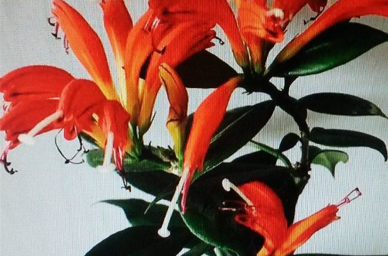 зеленое растение с яркими оранжевыми цветами