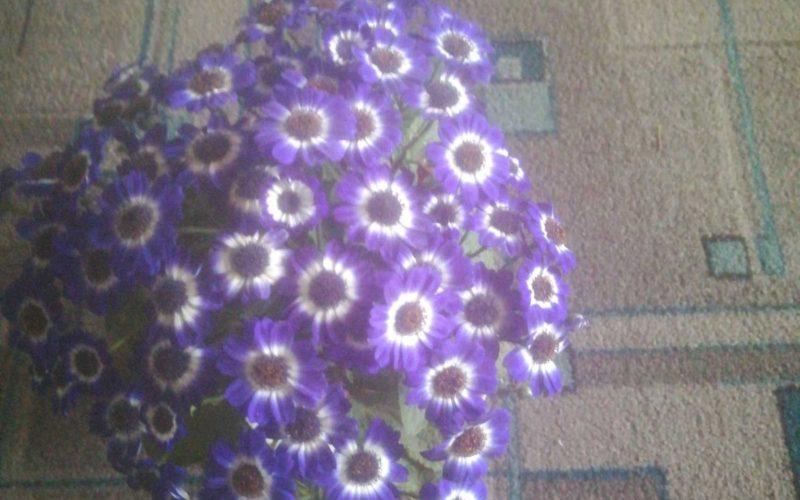 Растение зелёное с ярко синими цветами