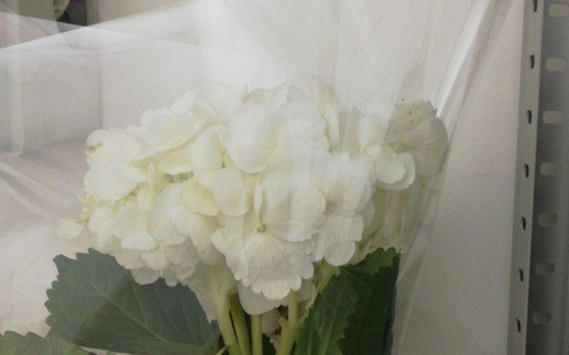 Зелёное растение с белыми цветами.