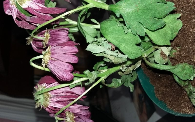 Яркие фиолетовые цветочки. Явно садовое растение