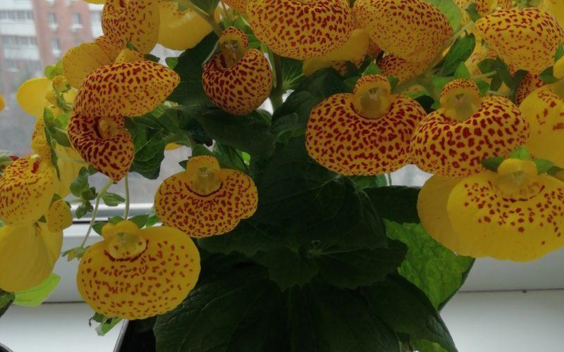 Растение с мягкими листьями и надутыми цветами