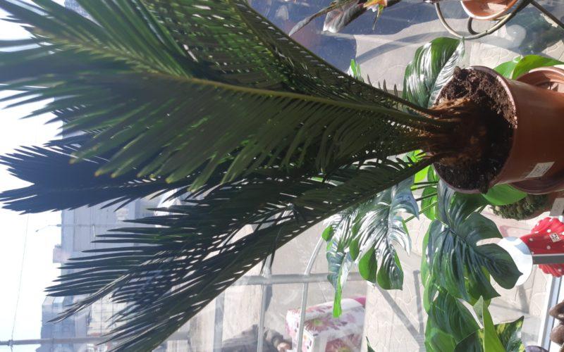 Расиение в виде пальм