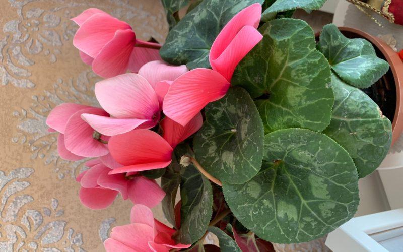 Цветок с розовыми цветами и крупными листьями