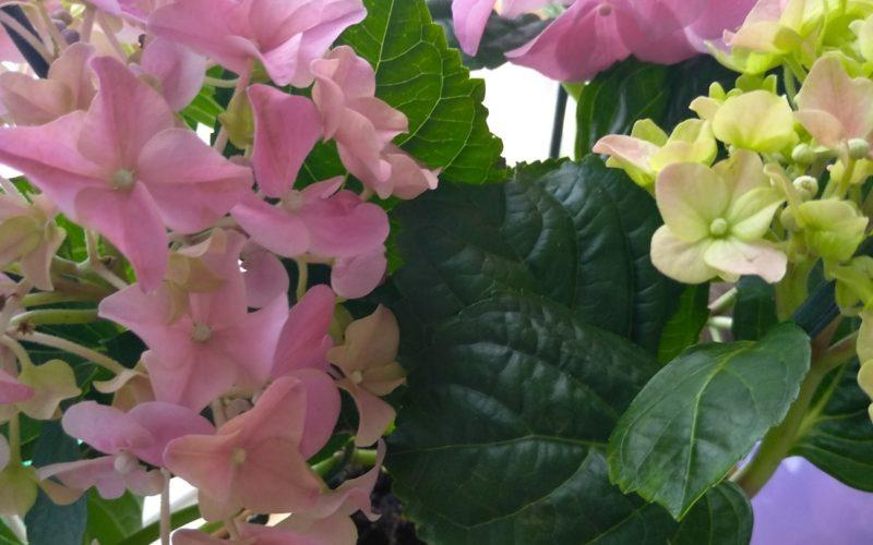 Зелёное растение, с розово- зелёными цветами