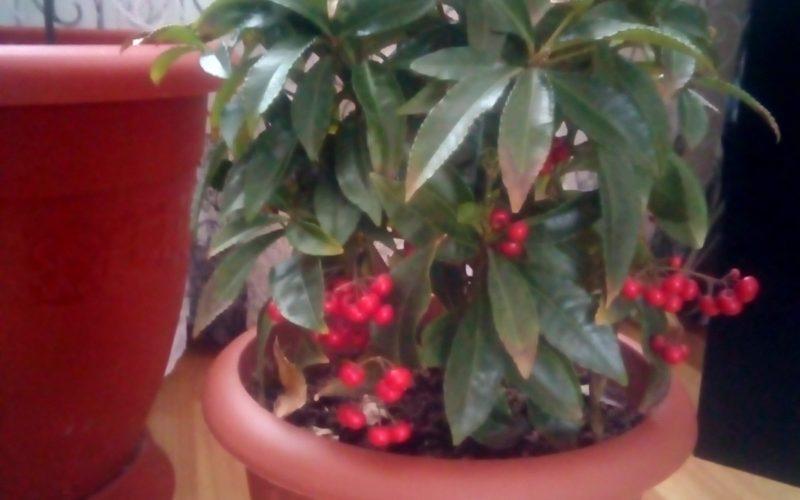 Зеленое растения с красными ягодами