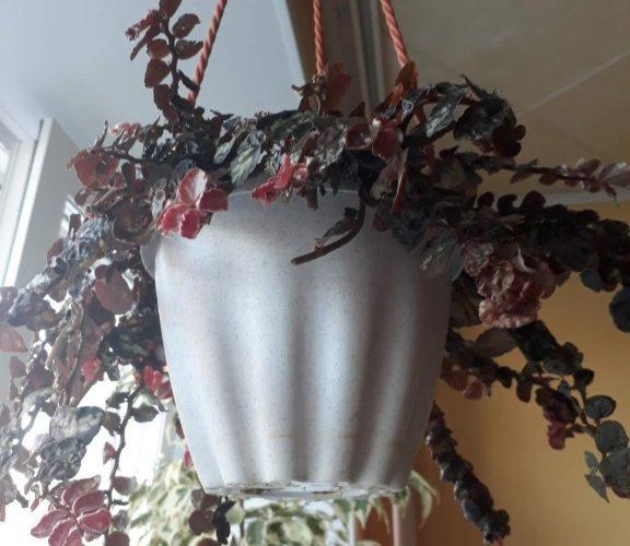 Растение сбордовыми листьями, растёт как лиановидное, лист хрупкий, низ светлее верха.