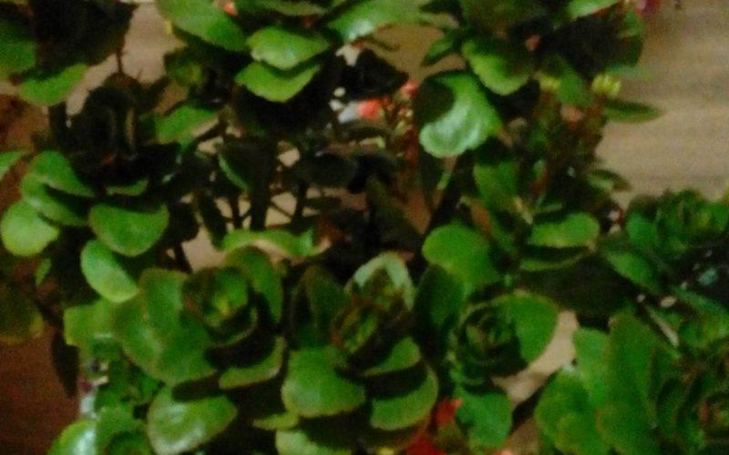 Зелёные розочки с красными цветами