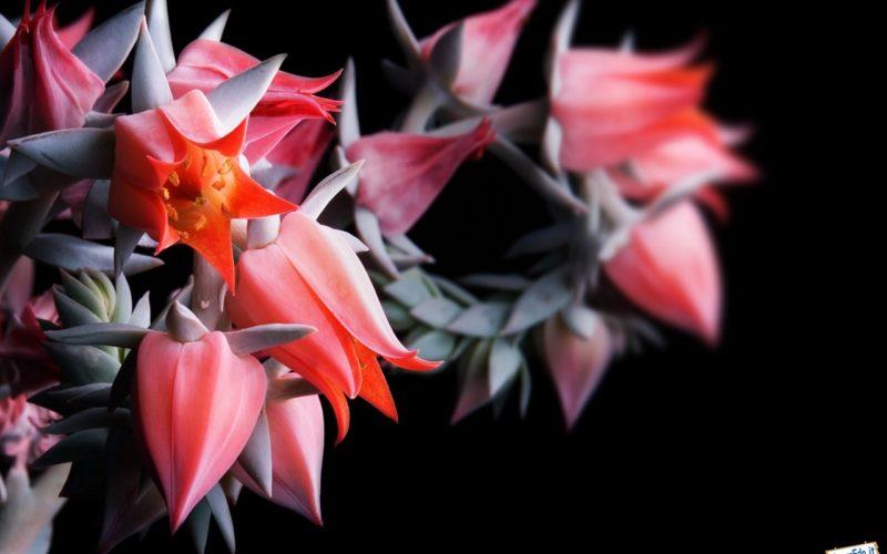цветок похожий на колокольчик