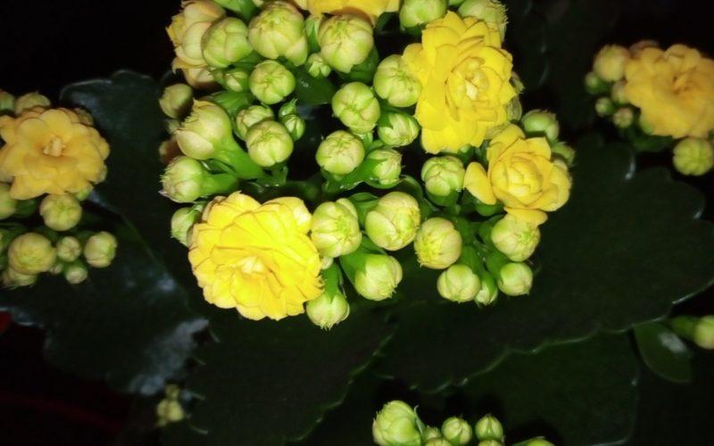 Цветущий, с волнистыми листиками и желтыми цветочками