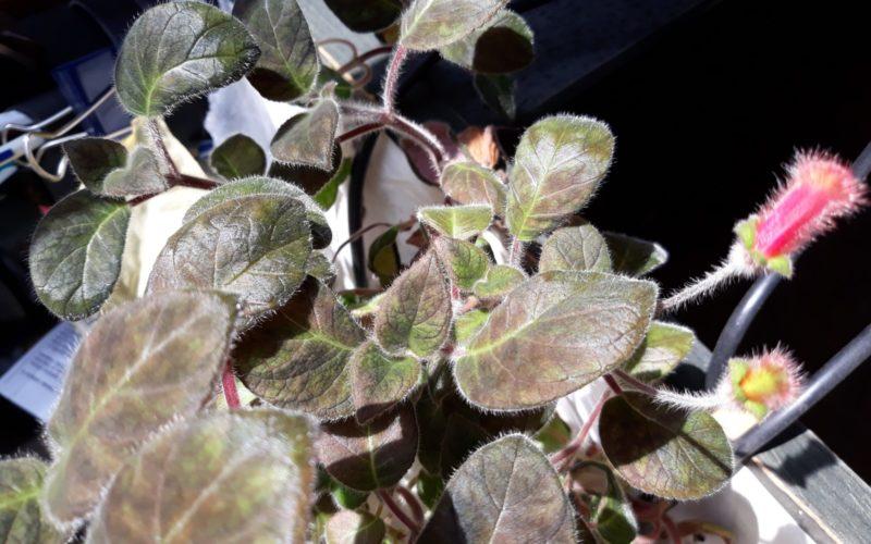 Зеленое растение с красными мелкими цветами